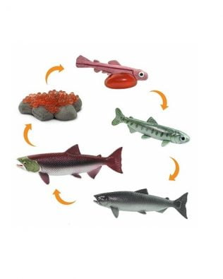 Ciclo de vida de un salmón. Safari