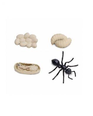 Ciclo de vida de una hormiga. Safari