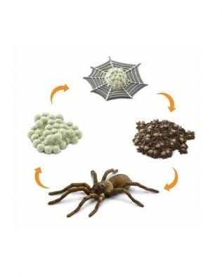 Ciclo de vida de una araña. Safari