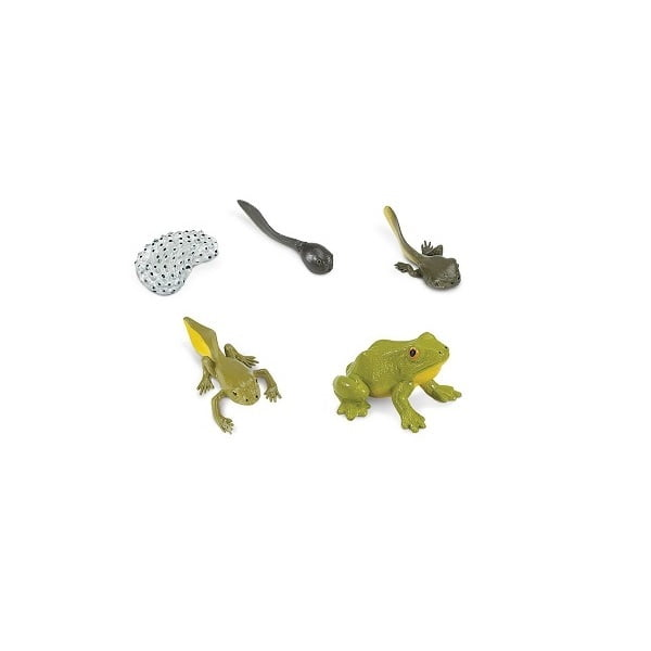 Ciclo vida rana Safari