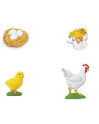 Ciclo de vida de una gallina. Safari