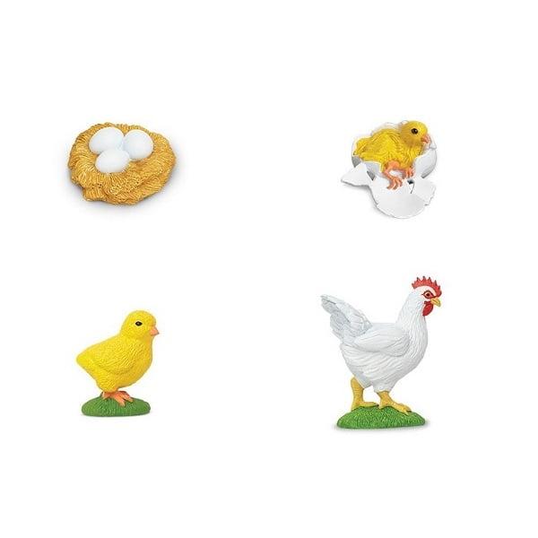 Ciclo de vida gallina